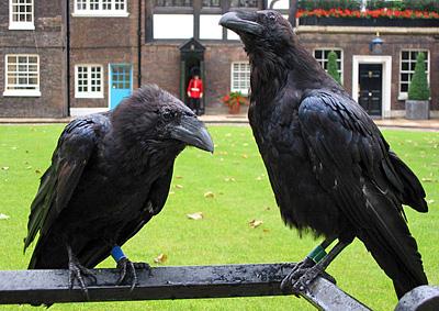 http://www.forensicgenealogy.info/images/birds_ravens_7.jpg